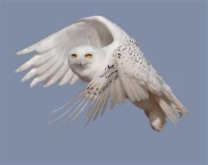 snowy-white-owlBING120213