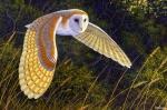 barn-owlfromBING101915