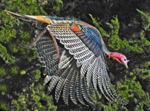 377355-wild-turkeys-wild-turkey-in-flight